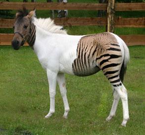 paard_zebra1