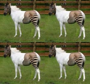 zebraas